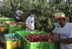 colheita da maçã de Alcobaça