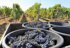 Alentejo espera aumentar produção vitivinícola em 5%