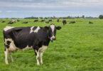 Estudo afirma que leite de vacas alimentadas com erva é mais saudável