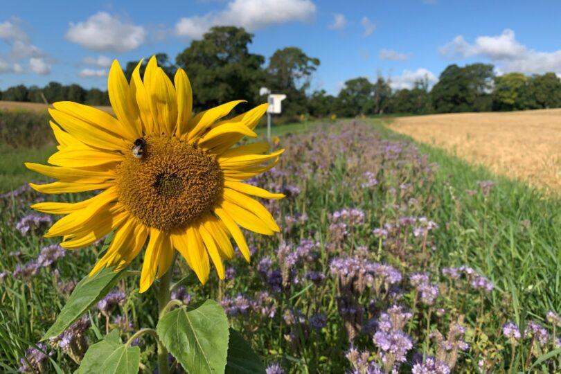 Margem multifuncional Operation Pollinator em exploração agrícola em Lystrup Gods na Dinamarca