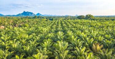 Plantação óleo de palma