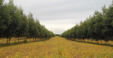 Árvores no meio das lavouras reduzem a incidência de doenças e pragas