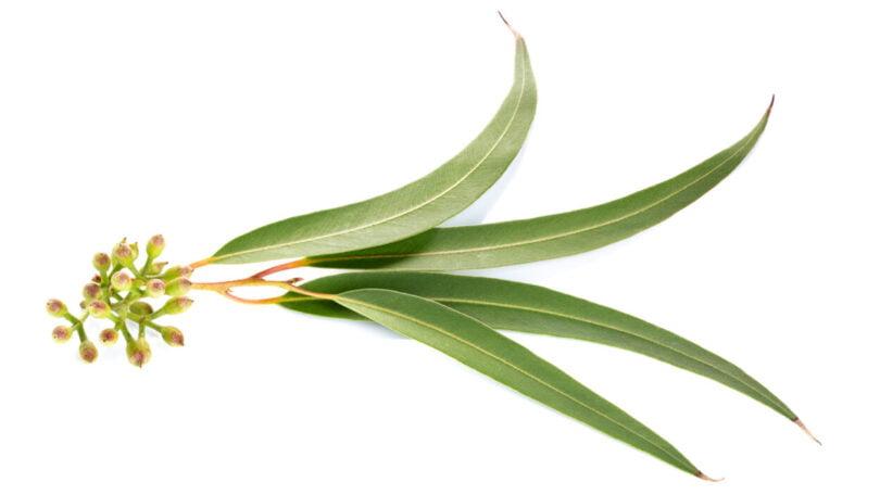 Investigadores da FCUP querem desenvolver biocida a partir de folhas de eucalipto jovens