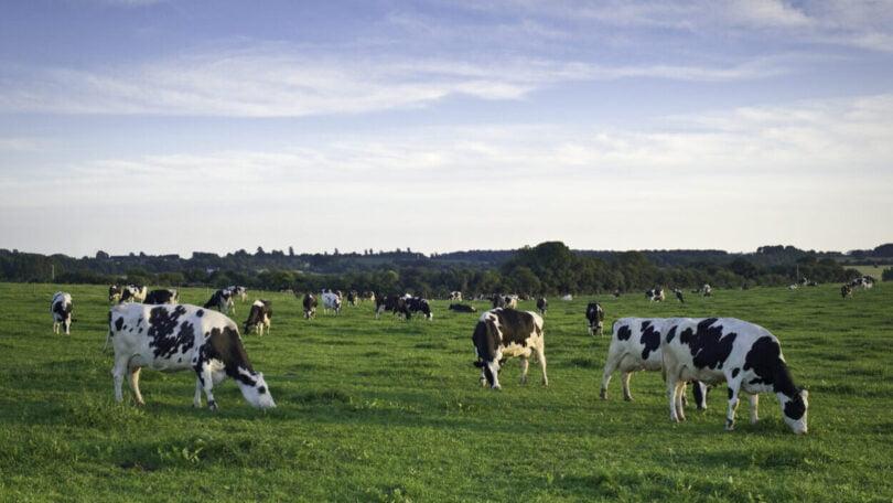 Estudo: Vacas leiteiras sem acesso a pastos exteriores podem ter pior bem-estar emocional