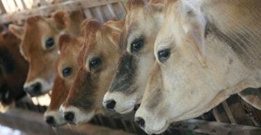 Nestlé e Embrapa querem desenvolver pecuária leiteira neutra a carbono