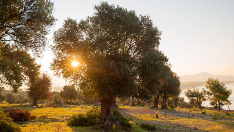 Agricultores espanhóis abatem oliveiras centenárias para tentar reduzir custos