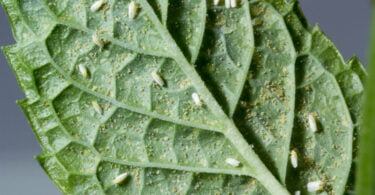 Primeiro gene conhecido transferido de planta para inseto pode ajudar a combater pragas