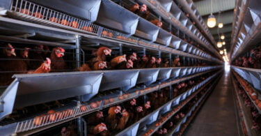 Empresas alimentares apelam ao fim do uso de gaiolas na pecuária