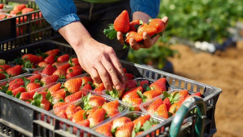 A retalhista Mercadona comprou mais de 150 toneladas de morango nacional em 2020, através de uma colaboração com a Sudoberry.