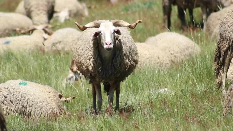 Os ovinos Serra da Estrela são a maior raça autóctone portuguesa, em número. No total existem 20 341 desses ovinos.