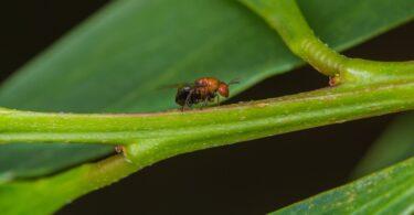 A pequena vespa australiana formadora de galhas pode ajudar no controlo natural da acácia-de-espigas, reduzindo a capacidade de propagação.