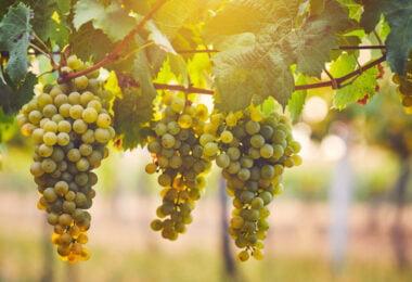 Um estudo da UC Davis descobriu que o bagaço das uvas chardonnay possui compostos que podem ajudar na saúde, assim como oligossacarídos.