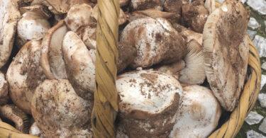Silarca – Festival do Cogumelo