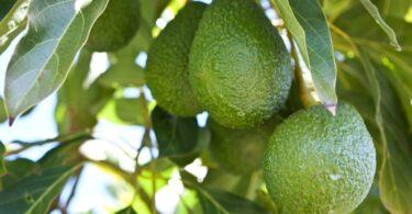 O VAB da cultura de abacates no Algarve é de 40 milhões de euros, revela o estudo realizado pela Agro.Ges, a pedido da AlgFuturo.