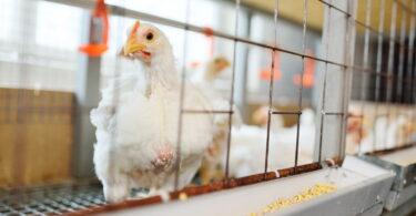 558 eurodeputados votaram a favor da eliminação progressiva do uso de gaiolas na pecuária. Apenas 37 votaram contra e 85 abstiveram-se.