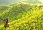 Investigadores do Earlham Institute (EI), no Reino Unido, estão a investigar variedades de arroz que possam sobreviver à crise climática.