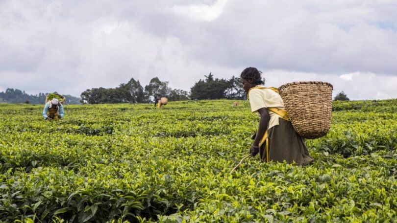 Encargos financeiros causados por pragas e plantas invasoras em África podem ascender a mais de 3,5 biliões de dólares por ano, revela estudo.