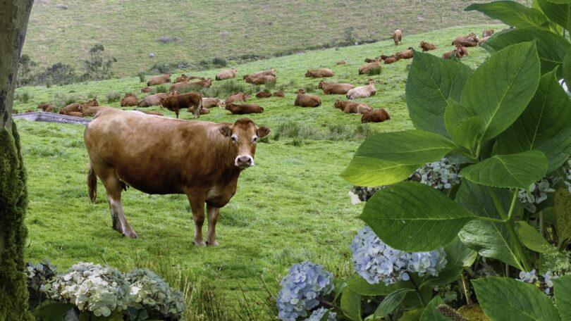 Investigadores açorianos anunciaram a criação de um sistema que permite identificar um fungo que intoxica os bovinos nas pastagens.