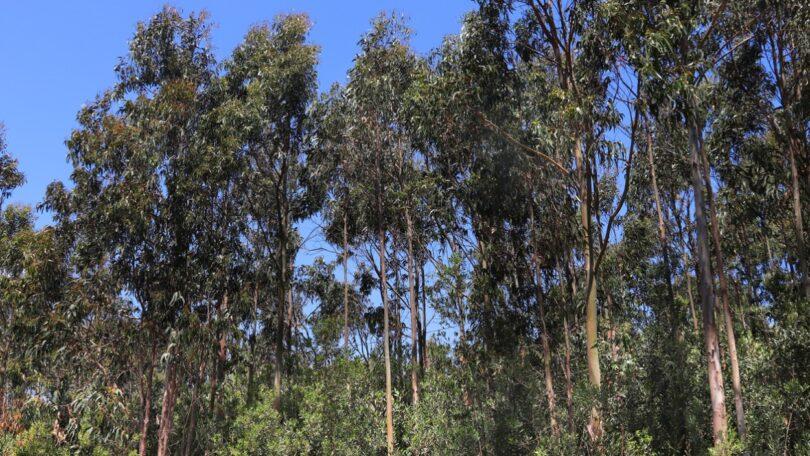As plantações de eucalipto podem não consumir mais quantidade de água do que os povoamentos adultos de pinheiro-bravo demonstrou um estudo.