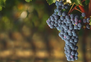 Investigadores norte-americanos alteraram as condições da vinha na casta Cabernet Sauvignon para abrandar o seu amadurecimento.