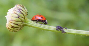joaninhas (predadores)-afídeos(insetos)-odores-investigação