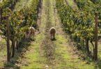 """O """"Sustainability Initiative Award"""" do IRGAwards foi atríbuido ao Programa de Sustentabilidade dos Vinhos do Alentejo (PSVA) da CVRA."""