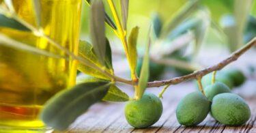 A campanha da azeitona deverá atingir valores recordes de 150 mil toneladas de azeite, de acordo com as previsões da Olivum.