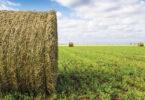 Forragem OGM reduz emissões de metano
